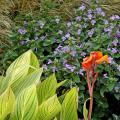 The Philippine violet is planted in front of maiden grasses' golden plumes that tower over the violet and dance in the wind. Flanking this are several Bengal tiger cannas. The striped green and gold foliage contrasts with the violet flowers. (Photos by Norman Winter/MSU Extension Service)