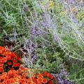 This Padre Orange Belgian mum perfectly complements the blue-flowered Russian sage. (Photos by Norman Winter)