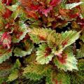 The Indian Summer coleus is like a kaleidoscope of ever-changing red, orange, rust, cream and green that seems to change color patterns from morning to afternoon. (Photo by Norman Winter)