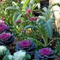 Gardeners who like edible landscapes should put cardoon at the top of their lists. Here, edible cardoon is planted with flowering kale, which often is used as a garnish. (Photo by Norman Winter)