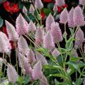 Joey is a hot, new plant from Australia that is coming this spring. Its 4-inch-long flowers have an iridescent sheen of neon pink and silver that are bottle brush-like with a little tilt at the top that hints at a feather. (Photo by Norman Winter)
