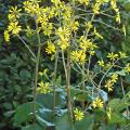 The leopard plant is a hardy, shade-loving plant that typically forms large clumps with rounded, glossy, leather-like leaves. It blooms in October and November, producing 18-inch-tall spikes with clusters of yellow, daisy-like blossoms. (Photo by Norman Winter)