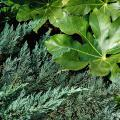 Groundcover conifers offer a staggering difference in texture because their leaves are needle-like. This Parson's juniper contrasts with the smooth, glossy leaves of the fatsia, a large tropical-looking shrub.