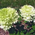 The Limelight hydrangea has an extended season of incredible blooms from midsummer through fall. It has small leaves and an incredible quantity of flowers that start off almost white, then change to bright, light lime and finally turn pink as fall approaches. (Photo by Norman Winter)