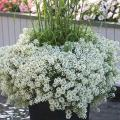Snow Princess will dazzle in mixed containers, falling over the edge like a blanket of snow and giving off a sweet honey aroma. (Photos by Norman Winter)