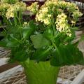The yellow flowers of this kalanchoe will last for weeks. Although the individual flowers are small, they are numerous enough to create a splash of color for winter enjoyment. (Photo by Lelia Kelly)
