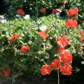 New varieties of purslane give this old plant new uses in the landscape. This hanging basket of Rio Scarlet and Rio White takes advantage of purslane's spreading and trailing characteristics and its ability to thrive in high summer temperatures. (Photo by Gary Bachman)