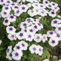 This 21st Century Blue Star phlox is easy to grow and results in full, mounded plants. Strong flower production lasts from spring until frost, and the plant can tolerate summer heat well.