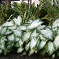 Caladiums are ideal for bringing color to the shady parts of gardens. This Aaron caladium is combined with ginger for a beautiful display. Angelonias, or summer snapdragons, perform best in full sun.