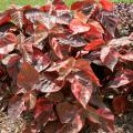 Acalypha Bronze Pink works well in the landscape or containers. The leaves are dark pink to reddish bronze. It gives a terrific show when planted in mass in the landscape and is a great thriller plant in containers.