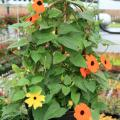Black-eyed Susan vines are an annual favorite. The sunny look of the flowers, such as these yellow and orange specimens, is sure to please.