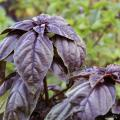 The bright purple leaves of Amethyst basil resemble the broad, flat leaves of common basil, and they have the same taste.