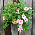 The Cascade Pink Blush flowering Vinca has pastel pink petals and a dark eye. It looks great planted in a wall sconce or even in an old shoe, as pictured here. (Photo by Gary Bachman)