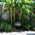 Japanese fiber bananas planted around a large urn fountain and combined with Louisiana iris add a tropical flair to this outdoor patio. (Photo by MSU Extension Service/Gary Bachman)