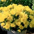 Adding fall mums is a stress-free way to provide color to the fall landscape, and the selection of colors can seem limitless.