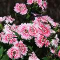 The Telstar dianthus' flowers have a fringed margin and are available in single, double and semi-double petal arrangements.