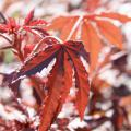 Mahogany Splendor hibiscus can be confused with purple Japanese maple, as both have dramatic, purple-burgundy leaves with coarse, deeply serrated edges. (Photo by Gary Bachman)