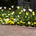 These yellow and white tulips provide a nice complement to yellow and white pansies. (Photos by Gary Bachman)
