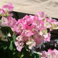Bougainvillea's colorful bracts and tube-shaped flowers bring a tropical flair to home landscapes. (Photo by MSU Extension Service/Gary Bachman)