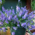 The Angelonia series Angel Mist are compact, low-growing and free-flowering plants. This purple selection sprawls over the edge of its hanging basket. (Photo by MSU Extension Service/Gary Bachman)