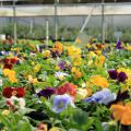 """Many pansies have a blotch or what is known as a """"face,"""" but the Matrix series offers some beautiful, clear colors. (Photo by MSU Extension Service/Gary Bachman)"""