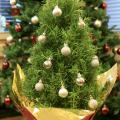 A tree-shaped rosemary plant can make a fun and aromatic miniature Christmas tree to brighten up holiday homes. (Photo by MSU Extension Service/Gary Bachman)