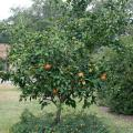 Satsuma oranges grow well in Mississippi and produce very juicy fruits with deep-orange rinds. (Photo by MSU Extension Service/Gary Bachman)