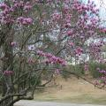 The most popular of the flowering magnolias is the saucer magnolia. Huge white, pink or purple flowers bloom after the risk of late-spring frosts has passed. (Photo by MSU Extension Service/Gary Bachman)