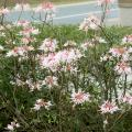 Native azaleas are easier to grow than many gardeners realize. Their blooms are colorful but small, so they are often overlooked. (Photo by MSU Extension Service/Gary Bachman)