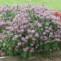 The Senorita Rosalita cleome is an exciting cleome without thorns that blooms freely all summer long. (Photo by MSU Extension Service/Gary Bachman)