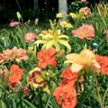 Daylilies such as these mixed varieties are ideal candidates to divide and share with neighbors or move to new areas of the landscape. (Photo by MSU Extension Service/Gary Bachman)