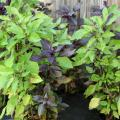 The Dark Opal basil has a variable, mottled appearance that means no two plants look the same. (Photo by MSU Extension Service/Gary Bachman)
