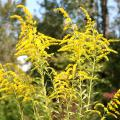Goldenrods' bright and prolific blooms are a sure sign that fall is on the way. Although they are often found growing wild, these plants make excellent landscape additions. (Photo by MSU Extension Service/Gary Bachman)