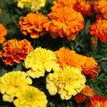 French marigolds, such as the Bonanza mix, are smaller and have more flower variety than their American counterparts. (Photo by MSU Extension Service/Gary Bachman)