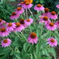 Pow Wow Wild Berry coneflower is a 2014 Mississippi Medallion winner. It stands only about 20 inches tall and has superior branching that keeps it blooming continuously. (Photo by MSU Extension Service/Gary Bachman)