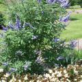 Shoal Creek vitex is more vigorous, and the flower color is a deeper and more intense blue than the regular species. (Photo by MSU Extension Service/Gary Bachman)