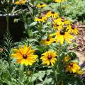 The upright stems of Rudbeckia Indian Summer are sturdy enough to display huge flowers that can be up to a whopping 9 inches across. (Photo by MSU Extension Service/Gary Bachman)