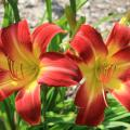 Suburban Nancy Gayle is an outstanding new daylily selection developed in Hattiesburg. It has outstanding landscape performance and is resistant to daylily rust. (Photo by MSU Extension Service/Gary Bachman)