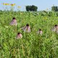 These coneflowers blooming alongside the road between Nebraska and South Dakota are similar to those growing in Mississippi. (Photo by MSU Extension Service/Gary Bachman)