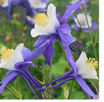 Columbines, such as this Aquilegia Swan blue and white, can thrive in Mississippi landscapes when treated as an annual.