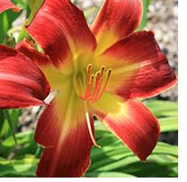 The daylily Suburban Nancy Gayle