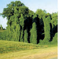 A kudzu plant covering trees