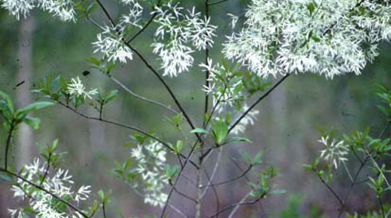 Native Shrubs For Mississippi Landscapes Mississippi