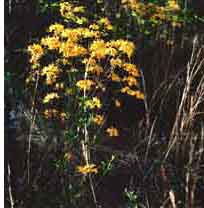 Yellow Native Azalea