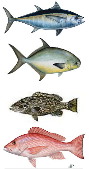 Commercial catches of valuable food fish species such as tuna, pompano, grouper, and snapper (left to right, respectively) are produced using gillnets, longlines and vertical multi-hook gear.
