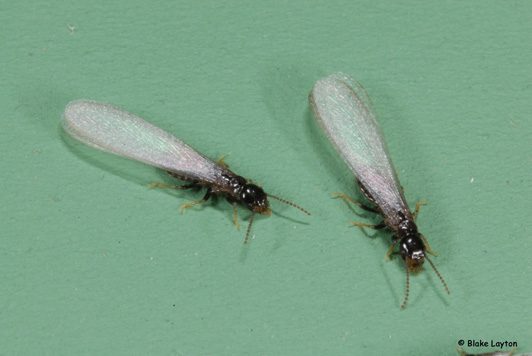 Eastern subterranean termite swarmers are about 3/8 inches long, including the wings, and have dark brown to black bodies with wings that extend well beyond the end of the abdomen.