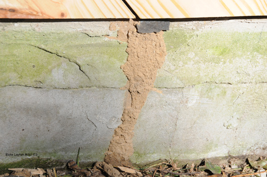 This mud shelter tube was built up the side of the building slab to allow termites to invade the building.