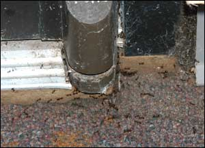 Fire ants entering a building around an infrequently used door.