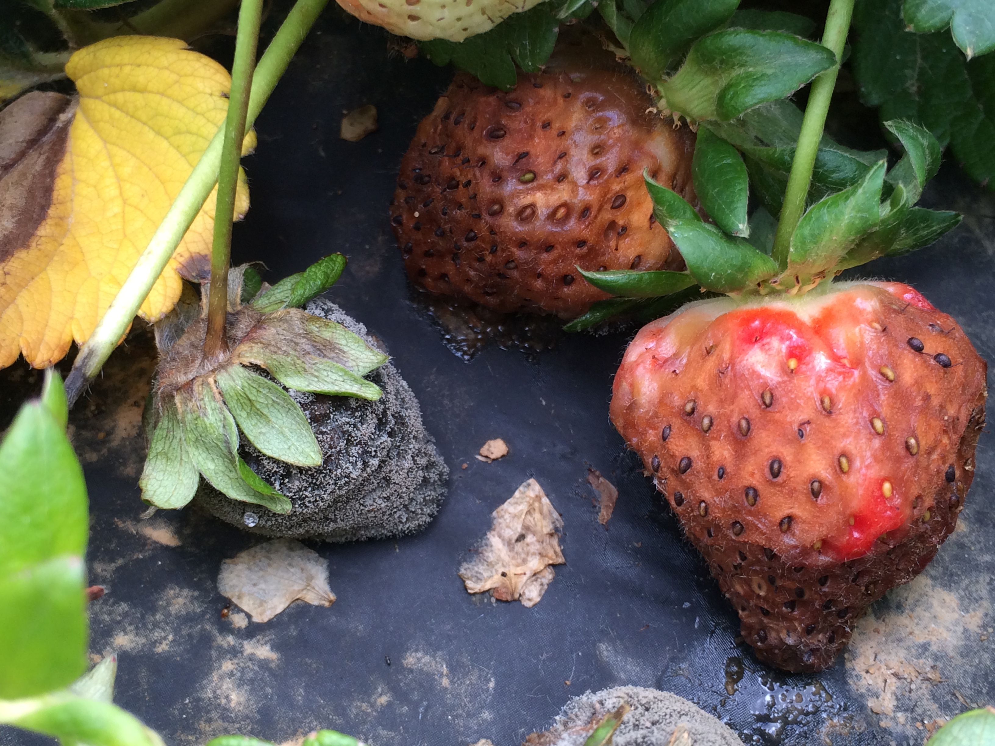 Symptoms and signs of gray mold (left) and anthracnose (right) on strawberries.