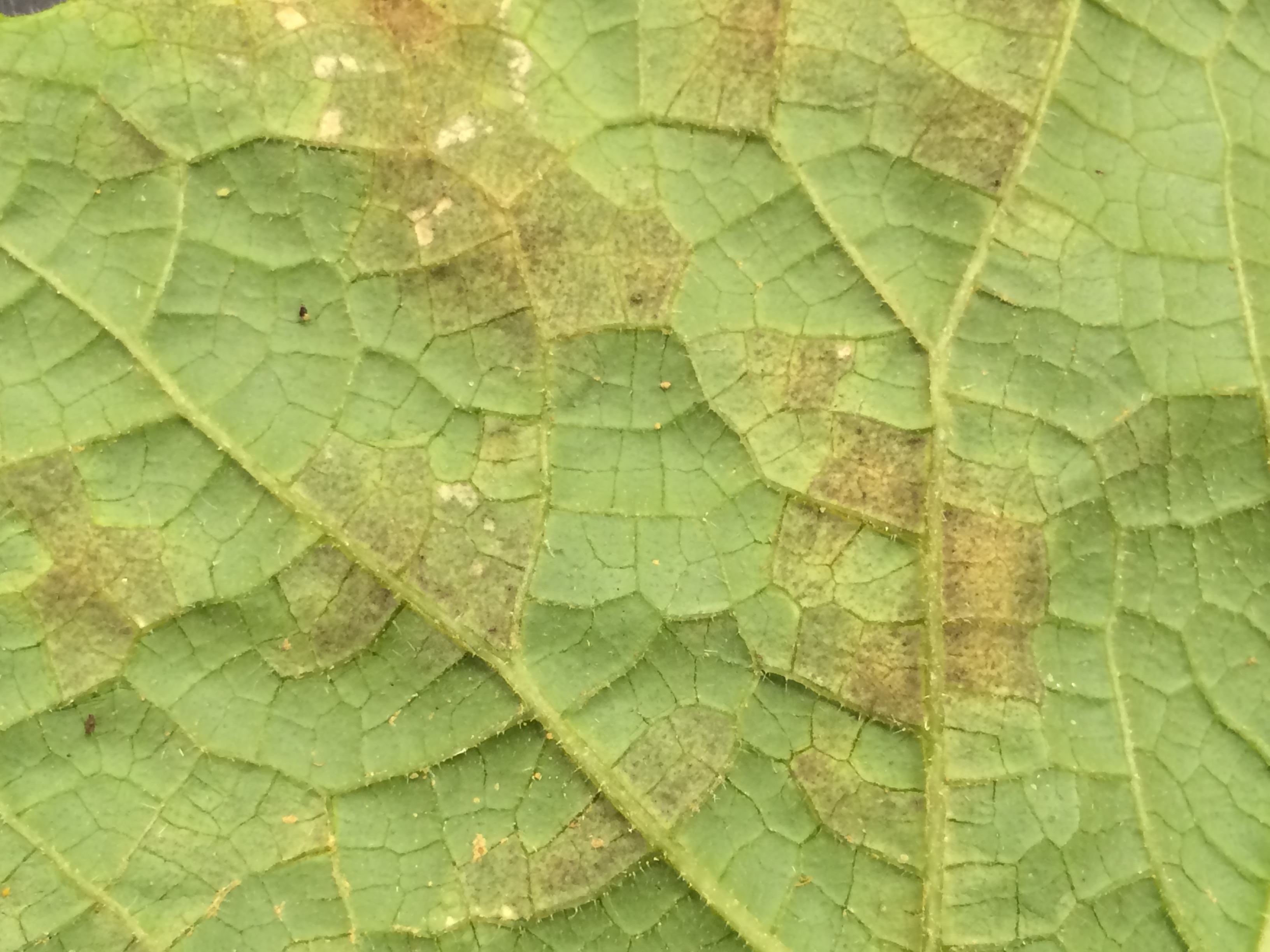 Pathogen growth on the lower leaf surface of a cucumber leaf with downy mildew.